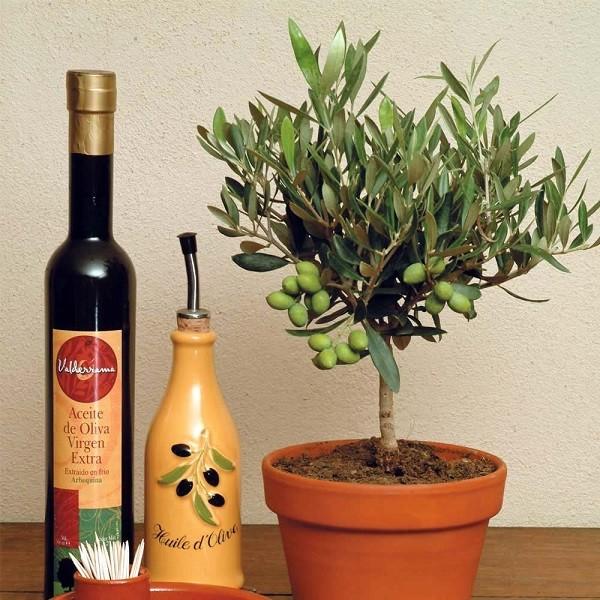 Косточка маслины в домашних условиях