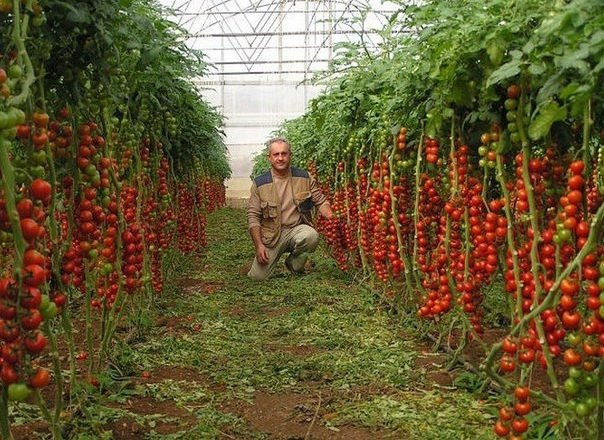 7 простых правил для самого большого урожая помидоров