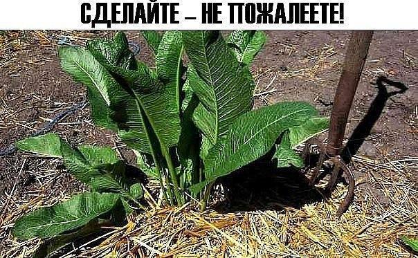 ХРЕН! Невероятное растение для избавления от лишних солей в организме!