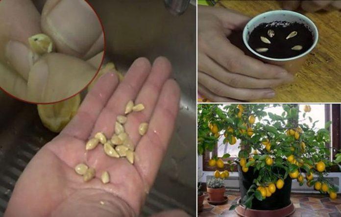 Как вырастить лимонное дерево из семян в собственном доме
