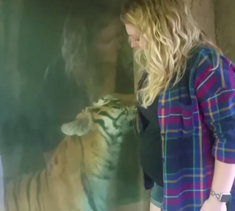 Беременная девушка захотела сделать селфи рядом с тигром. Как только он заметил ее живот, произошло невообразимое.