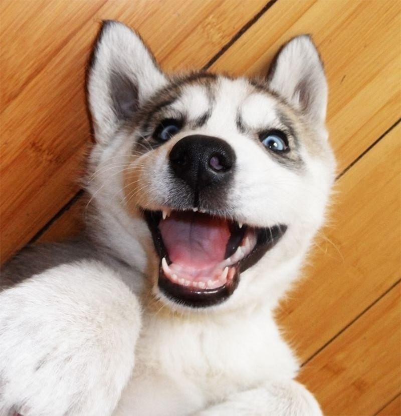 Говорящий щенок хаски без умолку болтает с хозяйкой. Море позитива!