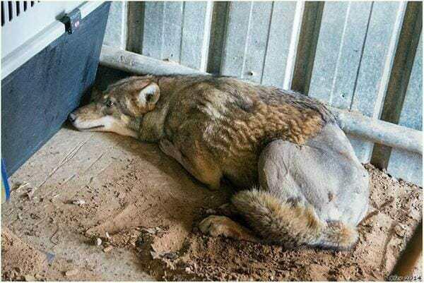 «Это же волк», — говорили все, «Так ему и надо». Но мужчина достал сбитого чьим-то автомобилем волка из канавы и вот, что произошло потом!