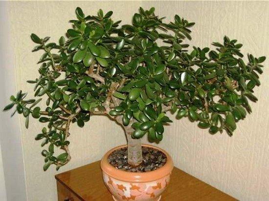 Очень многие выращивают у себя «Денежное Дерево». Так вот, знайте, что вы поливаете и выращиваете