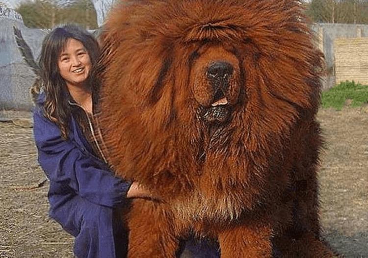 Это самая дорогая собака на земле! Как выглядит тибетский мастиф