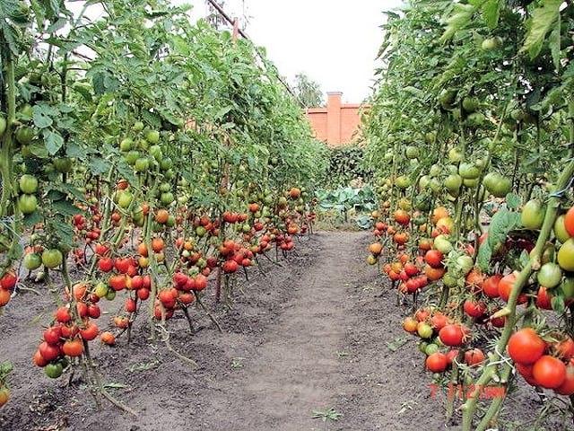 Если вы садите помидоры, то обязательно бросайте его в лунку!