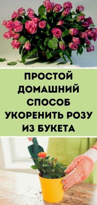 Простой домашний способ укоренить розу из букета