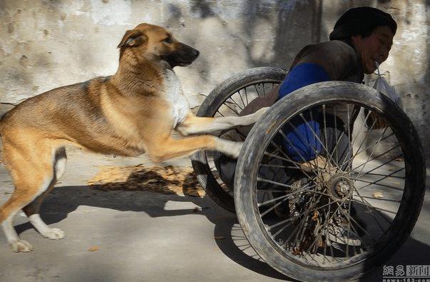 Жена с хвостом: каждое утро эта собака катит коляску с инвалидом на городской базар…