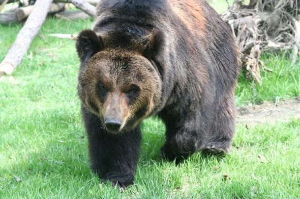 Медведь носил стальную «рубашку» много лет. Вот что произошло, когда его освободили…
