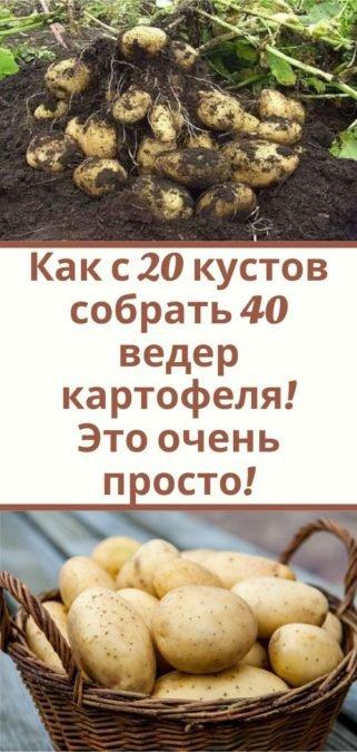 Как с 20 кустов собрать 40 ведер картофеля! Это очень просто!