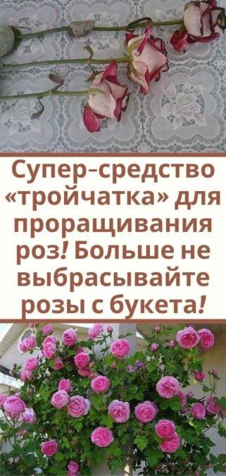 Супер-средство «тройчатка» для проращивания роз! Больше не выбрасывайте розы с букета!