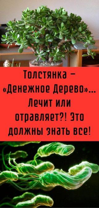 Толстянка — «Денежное Дерево»… Лечит или отравляет?! Это должны знать все!
