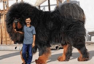 Тибетский мастиф. Самая дорогая собака на земле !