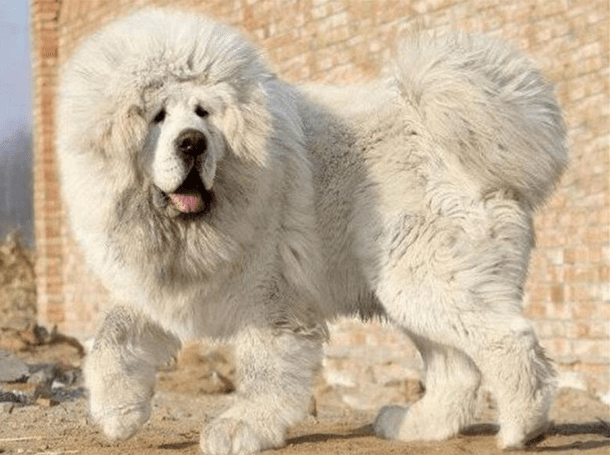 Тибетский мастиф. Так выглядит самая дорогая собака на земле!