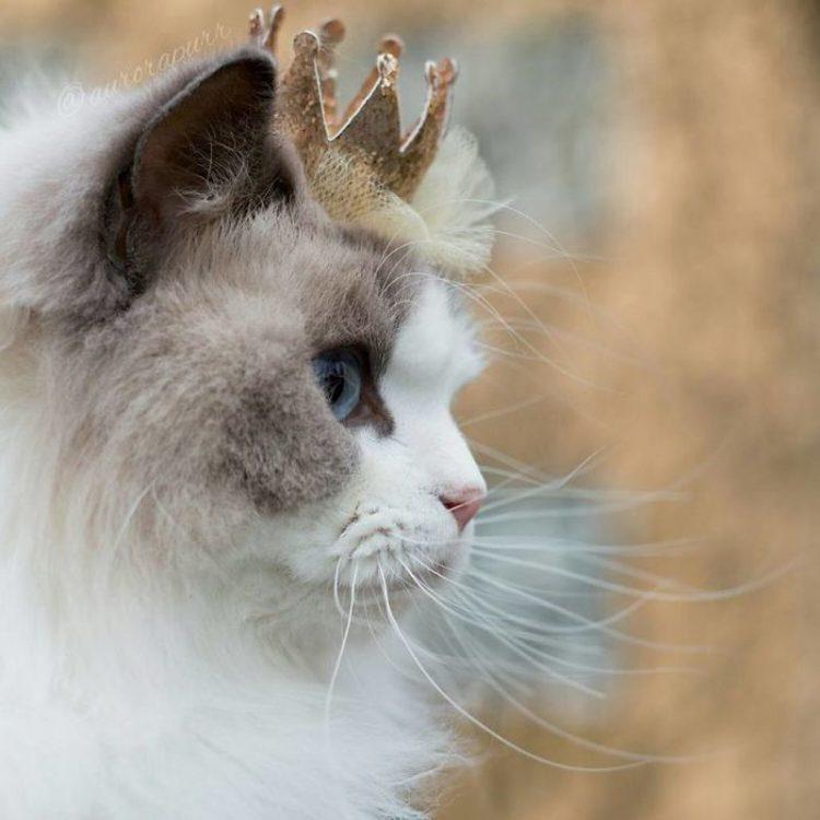 Самая красивая кошка в мире, умная и преданная как собака. Хотите такую?