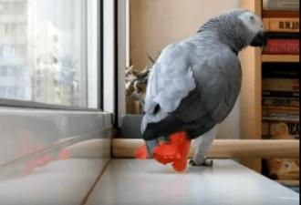 Попугай поет песню Ани Лорак: 1 млн просмотров
