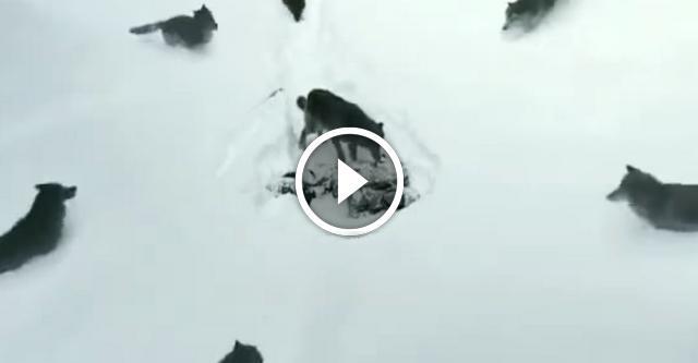 Волки с человеческим сердцем. Видео, которое никого не оставит равнодушным!