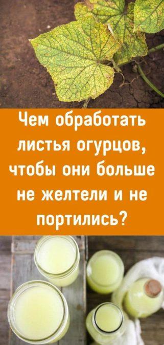 Чем обработать листья огурцов, чтобы они больше не желтели и не портились?