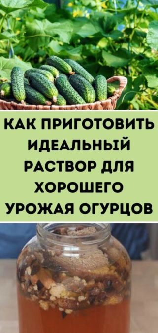 Как приготовить идеальный раствор для хорошего урожая огурцов