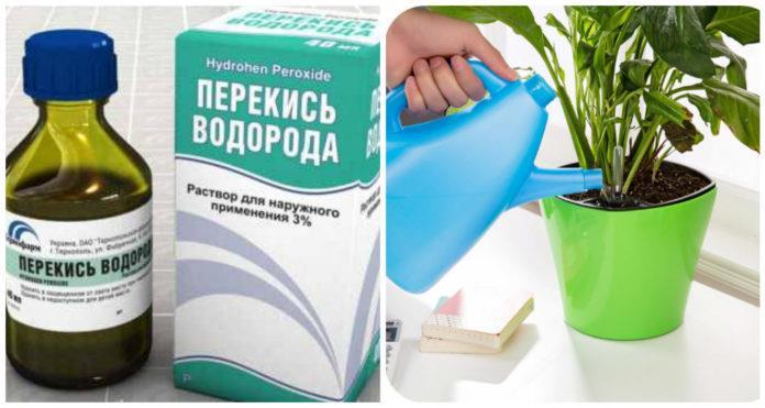 Благодаря перекиси ваши комнатные цветы начнут расти в 2 раза быстрее
