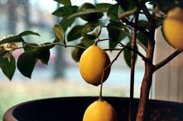 Давно выращиваю у себя дома лимоны. Дерево красивое и фрукт полезный!
