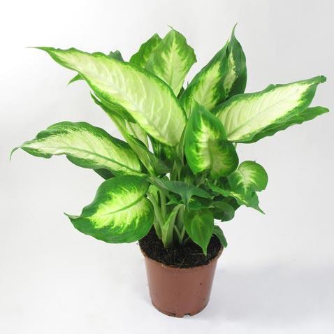 ОСТОРОЖНО! ядовитые комнатные растения