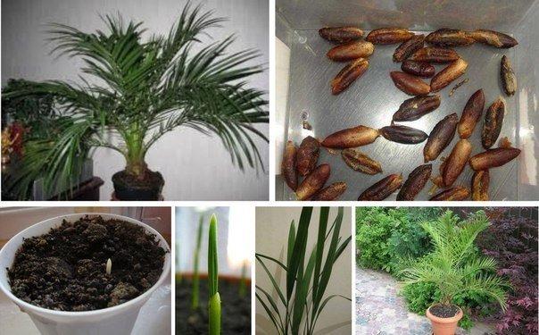 А вы хотите вырастить из косточки настоящую финиковую пальму? С этим советом это возможно…