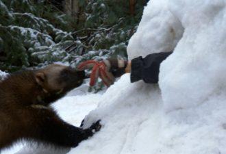 Росомаха спасла жизнь мужчине! Животное вытащило человека из снежной пещеры
