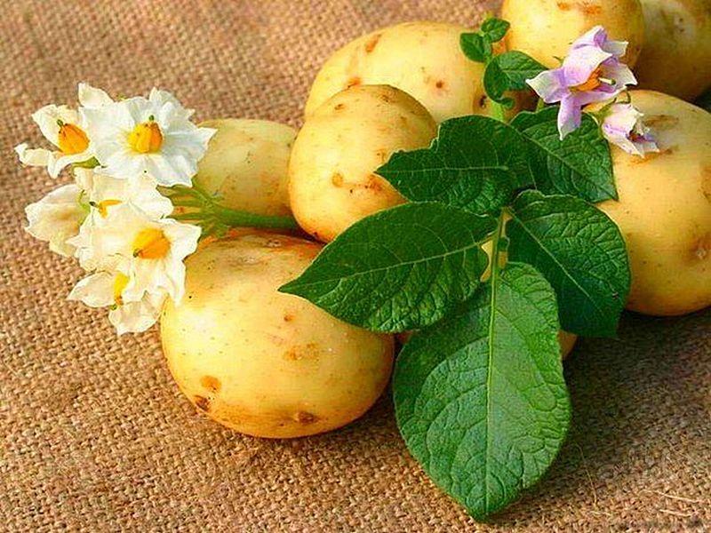 Картофель лечит не хуже аптечных средств! Слышали о таких рецептах?