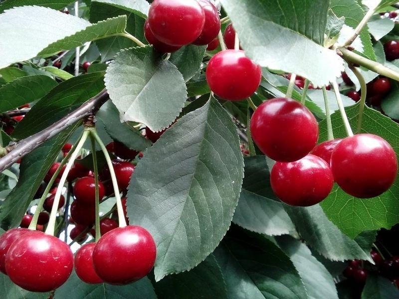 Листья этих ягод снимают воспаления, устраняют бессонницу и симптомы менопаузы, а также защищают от гепатита и рака!