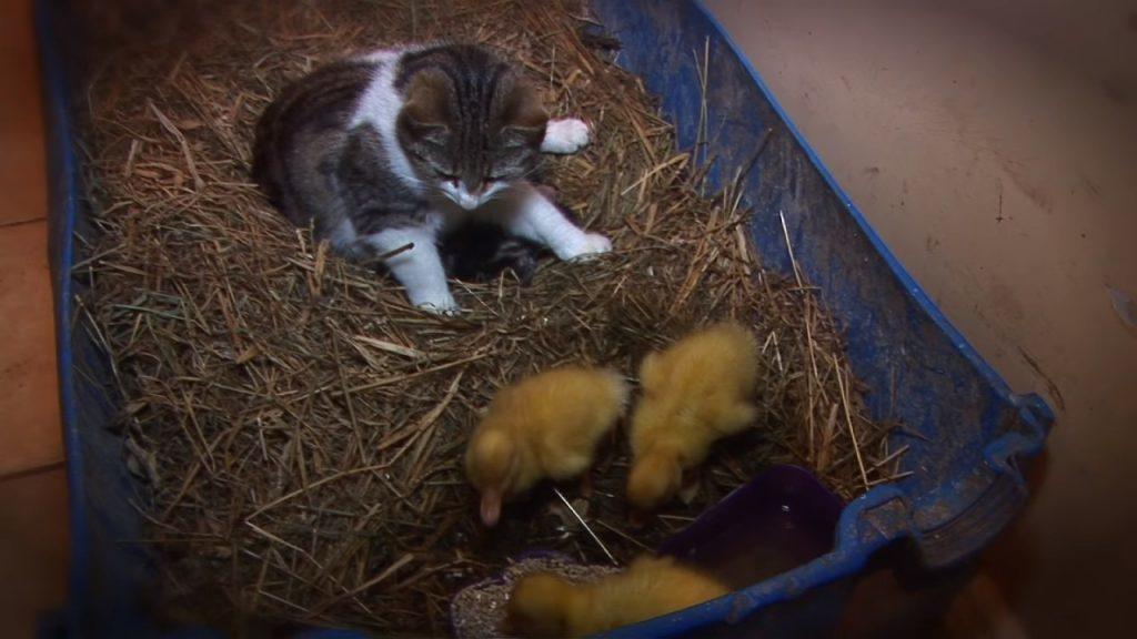 Они оставили утят наедине с кошкой. Начало пугает, но посмотрите, что происходит в конце видео!