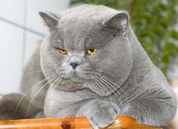 Ничего себе может кот-британец…)