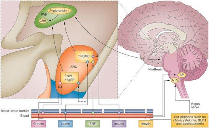 Гормон проопиомеланокортин: как связаны с собой стресс, радость и жиросжигание