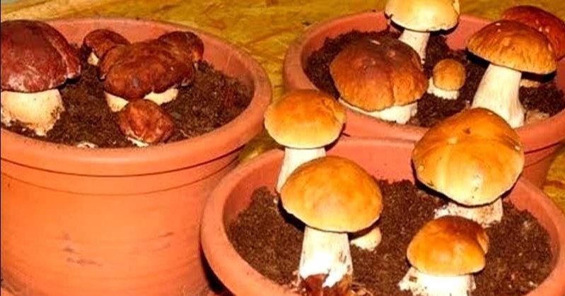 Как самому вырастить белые грибы на подоконнике? Подробная инструкция