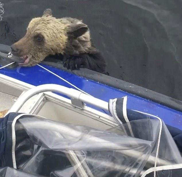 Мама медведица переплывала озеро с детьми. На полпути она устала и вернулась, а малыши начали тонуть, как вдруг…