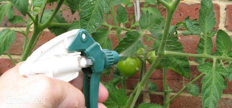 Попшикайте этим средством на огурцы и помидоры — и они никогда не будут «болеть»